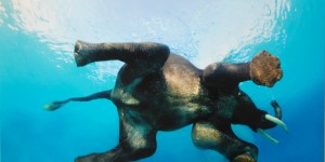 Rajan the swimming elephant from India