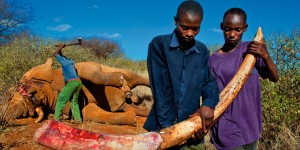 Illegal kenyan ivory poaching
