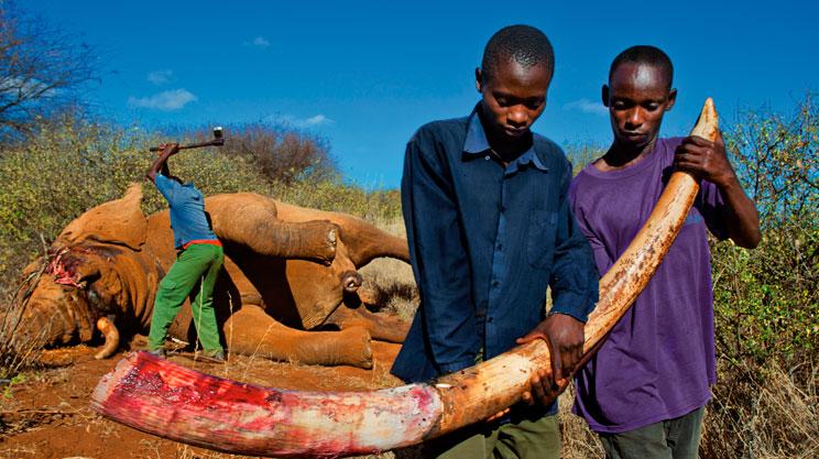 Illegal kenyan ivory poaching
